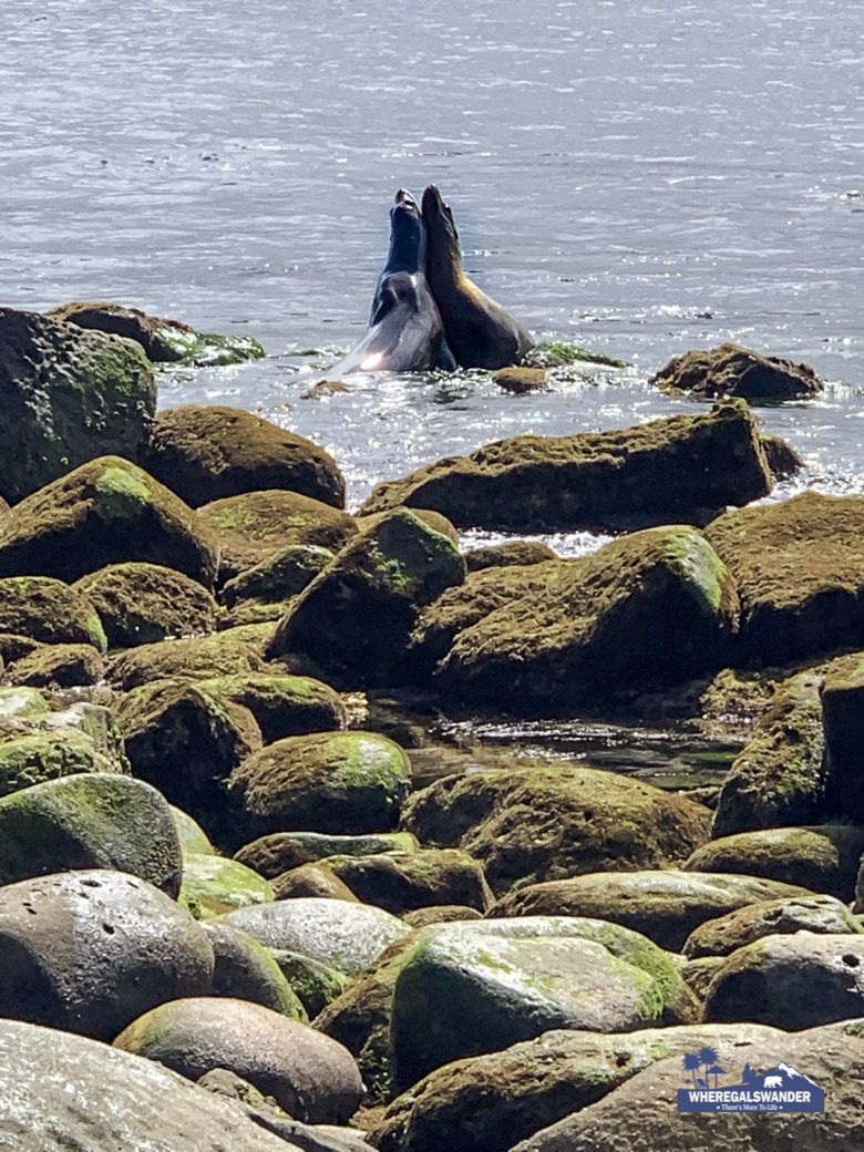 The Real Life Of La Jolla Sea Lions, story & photos by WhereGalsWander