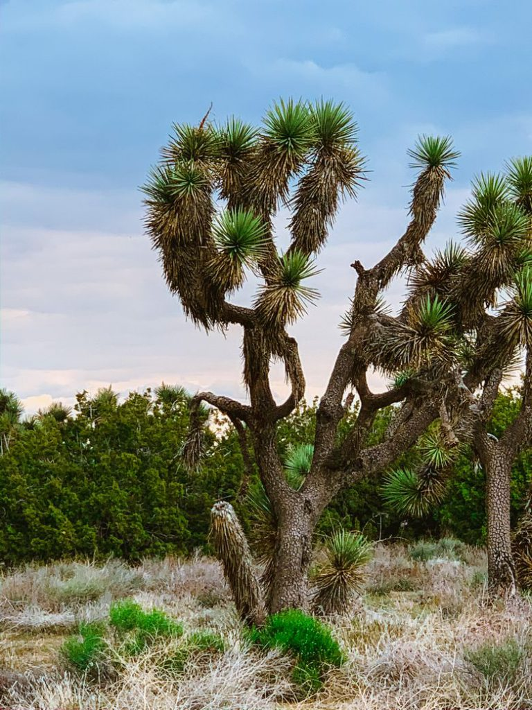 Joshua Trees are another reason why mountains are better than people
